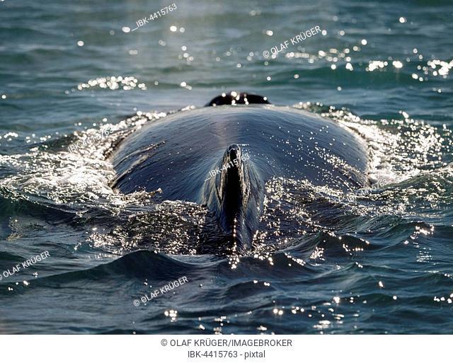 Humpback whale (Megaptera novaeangliae) swimming, Eyjafjörður, Iceland