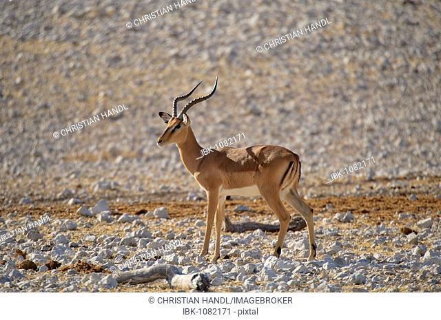 Impala (Aepyceros melampus), Etosha National Park, Namibia, Africa