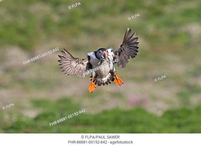 Atlantic Puffin (Fratercula arctica) adult, summer plumage, flying, with sand-eels in beak, Skomer Island, Pembrokeshire, Wales, may