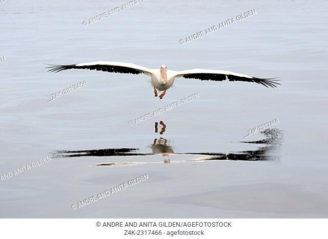 Great White Pelican (Pelecanus onocrotalus) in flight over water with reflection, Walvisbaai, Namibia