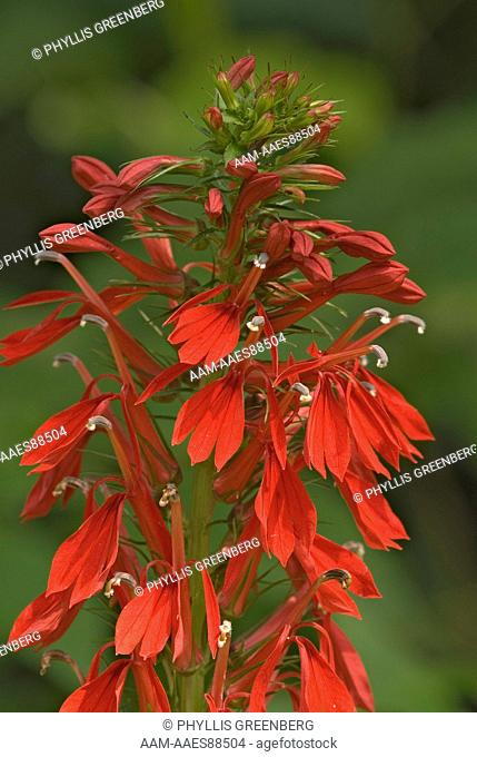 Cardinal Flower (Lobelia cardinalis) Great Smokey Nat.Park, NC  2007  Digital Capture