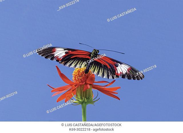 Butterfly (Heliconius melpomene)