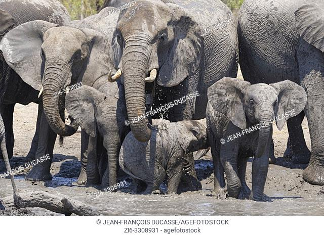 African bush elephants (Loxodonta africana), herd with calves at a muddy waterhole, Kruger National Park, South Africa, Africa