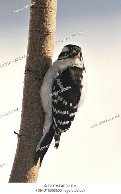 tree side view wildlife image downy woodpecker