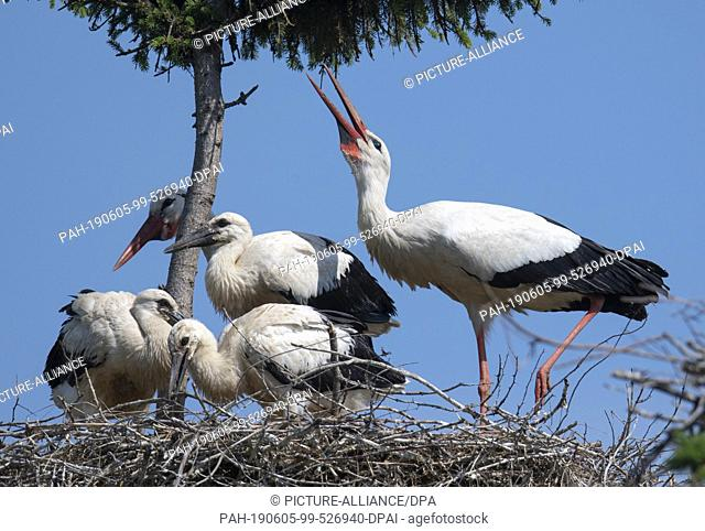 05 June 2019, Hessen, Biebesheim: With its three young animals, a pair of storks sits on its nest near the Rhine. One of the largest stork colonies in the...