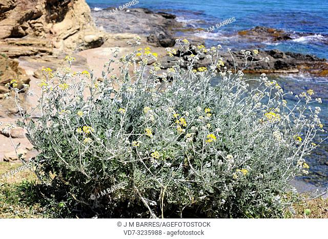 Silver ragwort (Jacobaea maritima or Senecio cineraria) is a perennial herb native to Mediterranean coasts and southern United Kingdom coasts