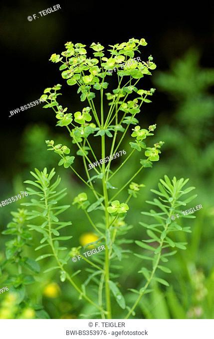 Leafy spurge (Euphorbia esula), blooming, Germany