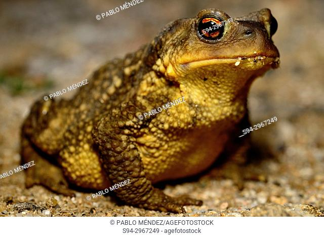 Iberian common toad (Bufo spinosus) in Bustarviejo, Madrid, Spain