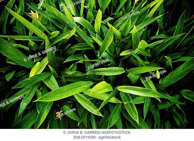 leaf background, dense green bush, Acapulco, Mexico