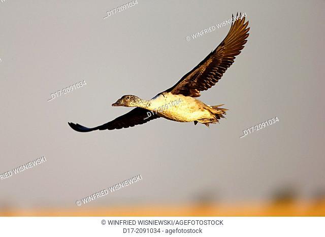 Flying knob-billed duck (Sakidiornis melanotus). Chobe River, Chobe NP, Botswana