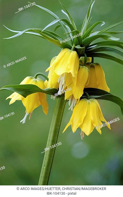 Fritillary 'Lutea maxima' (Fritillaria imperialis)