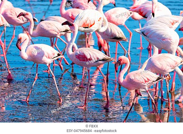 Group of pink flamingos on the sea at Walvis Bay, the atlantic coast of Namibia, Africa