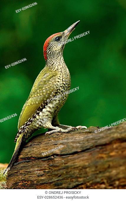 Nice green bird Green Woodpecker, Picus viridis