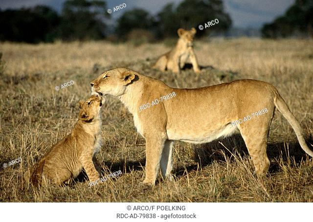 African Lions lioness with cub Masai Mara game reserve Kenya Panthera leo side