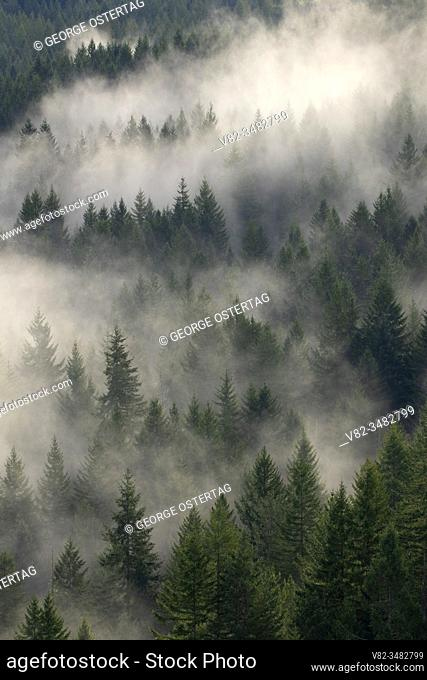 Forest fog, Tillamook State Forest, Oregon