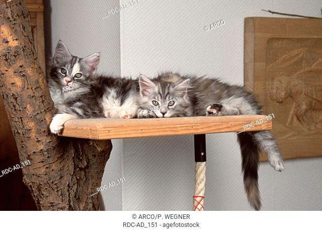 Maine Coon Cats kittens resting