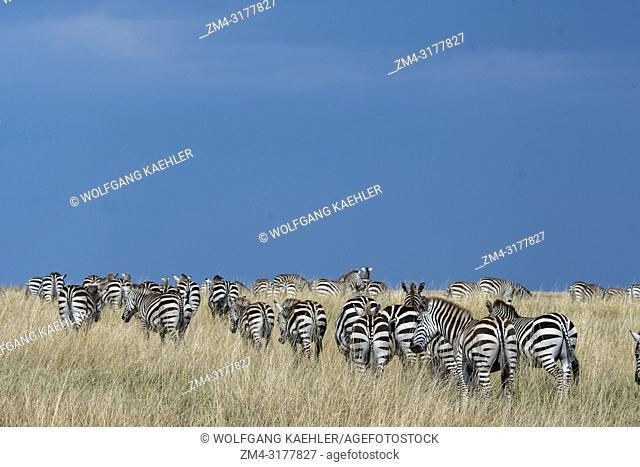 Plains zebras (Equus quagga, formerly Equus burchellii) also known as the common zebra or Burchell's zebra walking through the grassland under dark rain clouds...