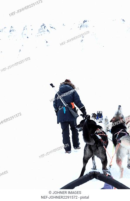 Dogs pulling sleigh and man walking