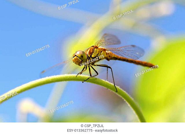 yellow dragonfly