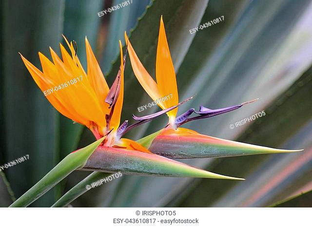 bird of paradise flower (strelitzia reginae) is a monocotyledonous flowering plant indigenous to South Africa