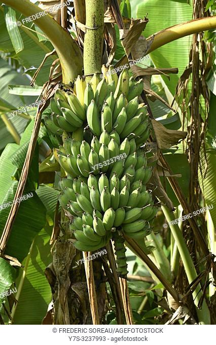 Banana fruit,Mondolkiri province,Cambodia,South east Asia