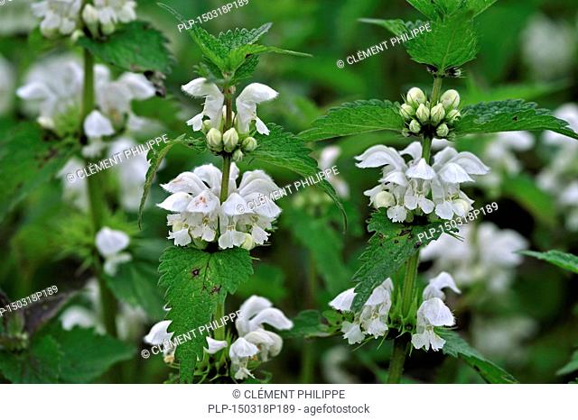 White deadnettle / white nettle / white dead-nettle (Lamium album) in flower