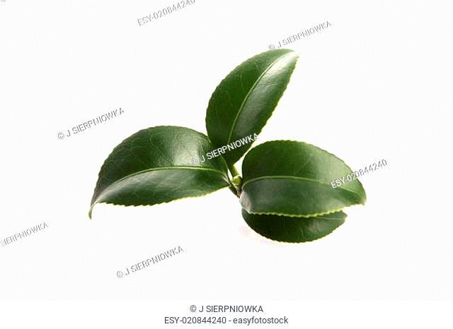 fresh tea leaves isoalted on the white background