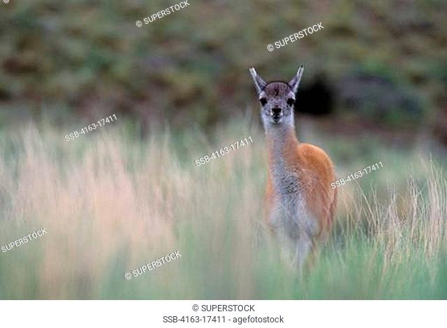 CHILE, TORRES DEL PAINE NAT'L PARK, GUANACO BABY CHULENGO, IN GRASS