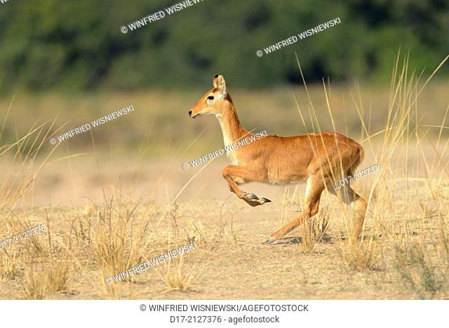 Running Puku (Kobus vardoni), female. South Lungwa National Park. Zambia |