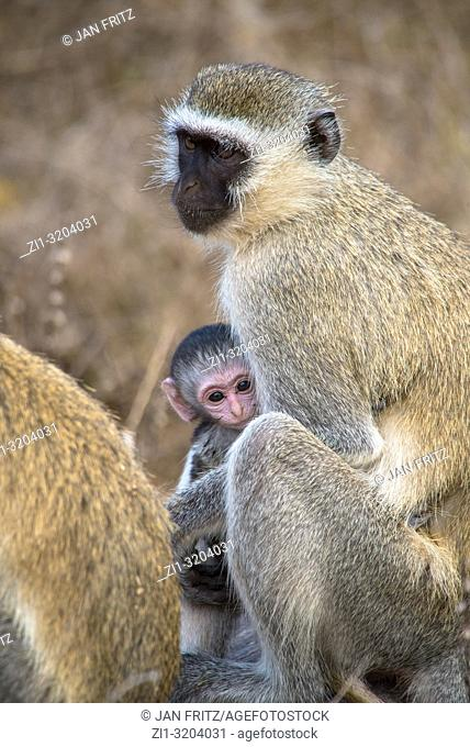 monkey (chlorocebus pygerythrus) with baby in Tsavo East Wildpark, Kenya