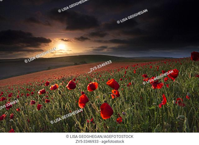 A field of Poppies - Papaver rhoeas during sunset on the South Downs National Park, East Sussex, England, Uk, Gb