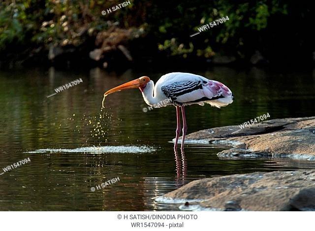 Painted stork quenching thirst Ranganathittu bird sanctuary in Srirangapatna near Mysore at Karrnataka India Asia