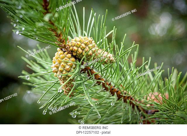 Pine cones (Pinus) growing on a branch; Fairbanks, Alaska, United States of America
