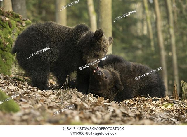 European Brown Bears ( Ursus arctos ) in natural forest trials their strength, playing / larking around, Europe