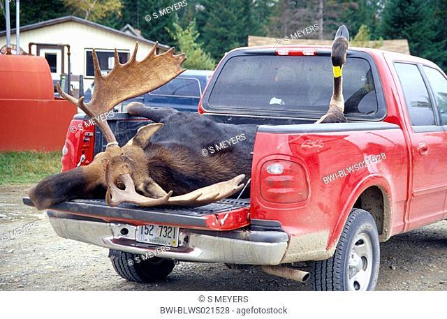 Canadian Moose, Northeastern moose Alces alces americana, Alces americana, bull killed at hunting season, USA, Maine, Kokadjo, Oct 01