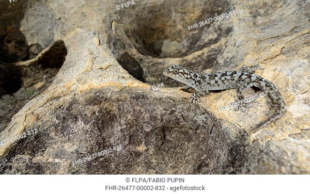 Small-scaled Leaf-toed Gecko (Goggia microlepidota) adult, resting on rock, Winterhoekberge, Western Cape, South Africa, February