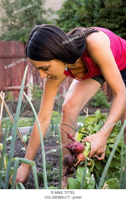 Young woman in garden, pulling fresh vegetables from ground