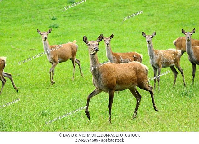A group of red deer (Cervus elaphus) female on a meadow