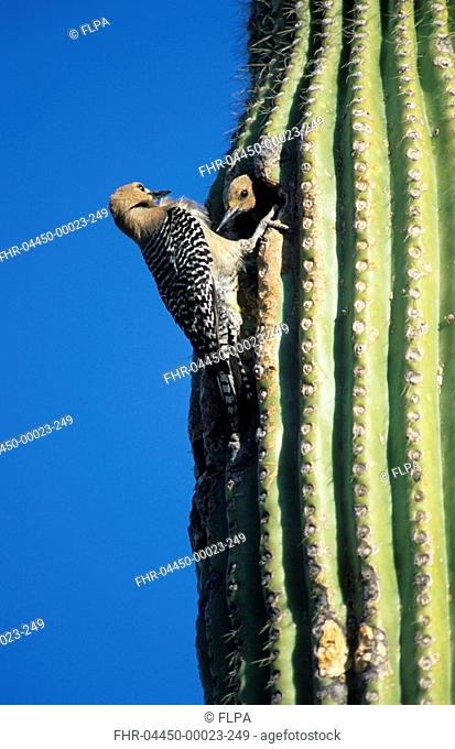 Gila Woodpecker Melanerpes uropygialis Two at nest hole in cactus / Sonora Desert,Arizona
