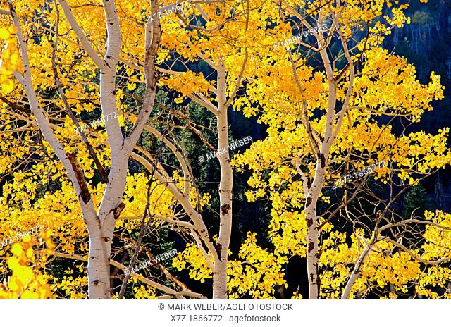 Aspen trees and Fall colors near Pike Mountain high in the Goose Creek Mountains in southern Idaho