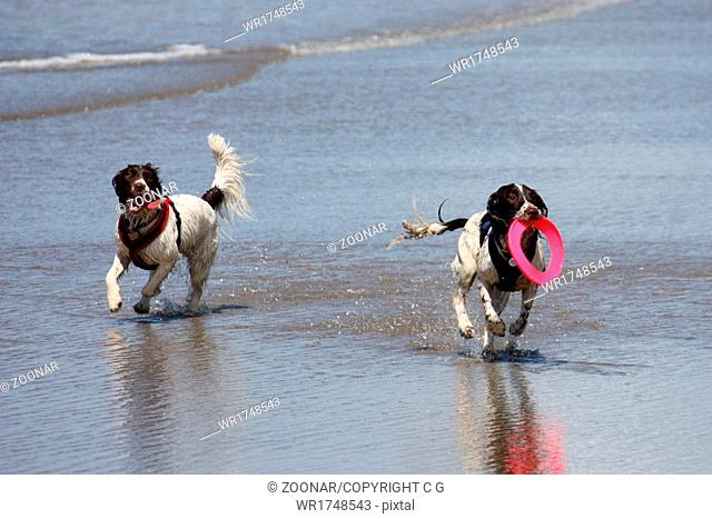 dogs playing frisbee on a beach