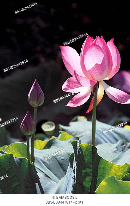 Close-up of pink lotus, Tea Stall Park, Fuzhou City, Fujian Province of People's Republic of China