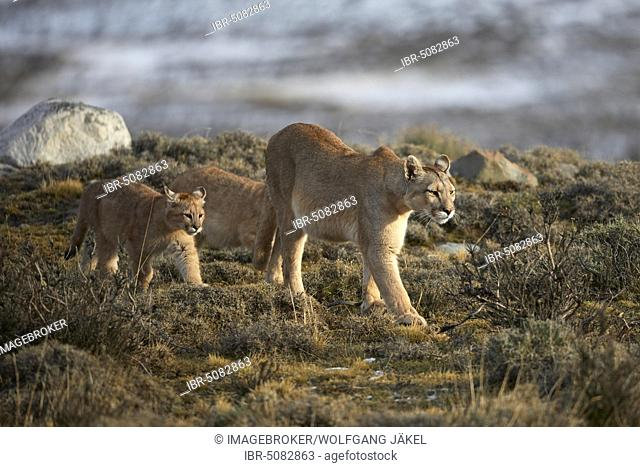 Cougars (Cougar concolor), dam with young animals in the tundra, Torres del Paine National Park, Patagonia, Chile, South America