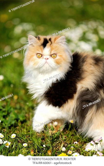 Persian Cat on meadow