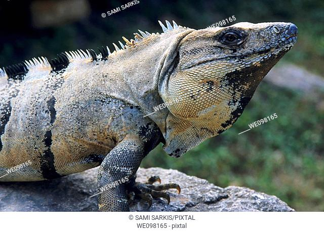 Portrait of an iguana, Uxmal, Yucatan, Mexico