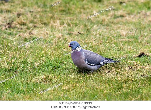 Wood Pigeon on grass lawn