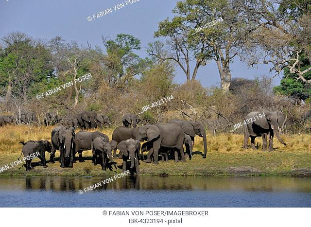 Elephant (Loxodonta africana) herd on the Cuando River, Bwabwata National Park, Zambezi Region, Caprivi Strip, Namibia