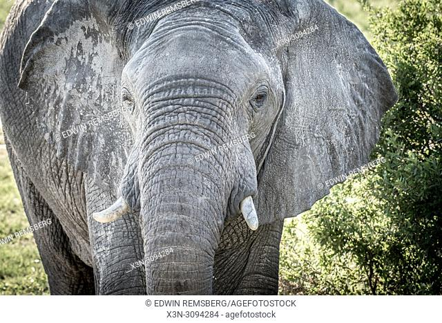 A close up of an elephant in the wetlands of Hwange National Park. Hwange, Zimbabwe