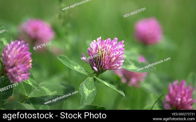 Red clover close up in green grass video background