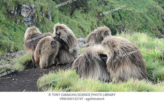 Male Gelada baboons (Theropithecus gelada) grooming. This baboon inhabits the grasslands areas of the highlands in Eritrea and Ethiopia